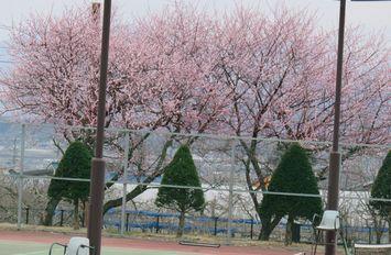 014ろとう桜