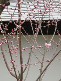 015山桜