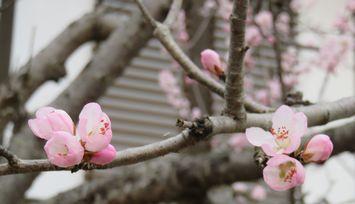 019ろとう桜
