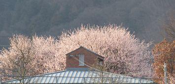 004魯桃桜