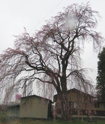 008しだれ桜