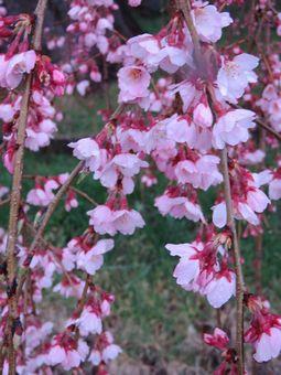 013しだれ桜2