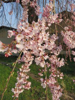 001しだれ桜