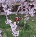 010しだれ桜