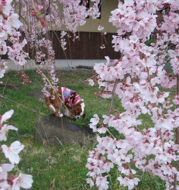 011しだれ桜