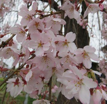 015しだれ桜