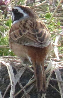 018野鳥ホオジロ
