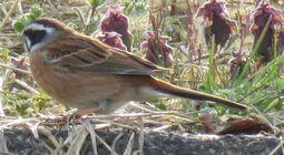 015野鳥ホオジロ