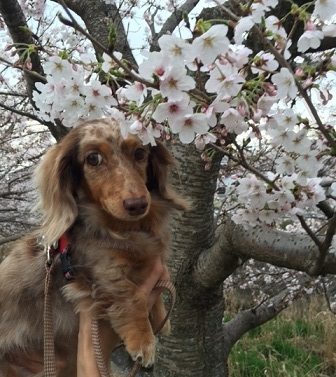 2016Apr3chocolatcherryblossom.jpg
