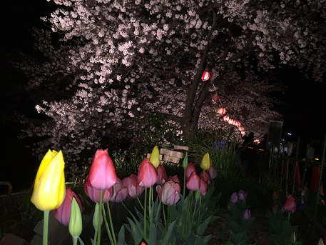 2016Apr4nightcherryblossom.jpg