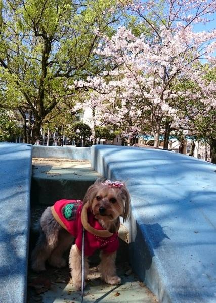 いつもの場所で桜と凜
