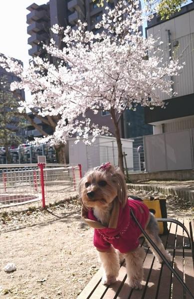 ベンチで桜と凜