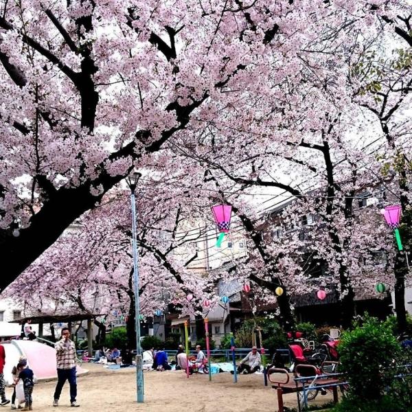 近所の桜公園