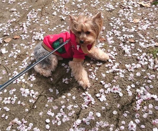 花びらの絨毯の上でしゃがみ込む凜