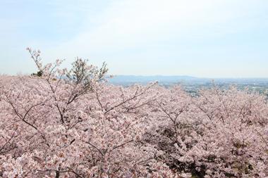 桜 花見 豊川 花屋 花夢