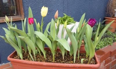 160330_tulip