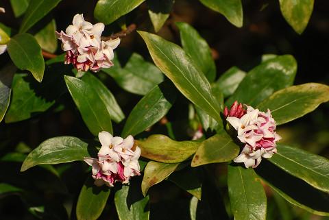 ジンチョウゲ開花2