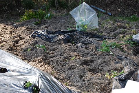 イノシシに荒らされた畑