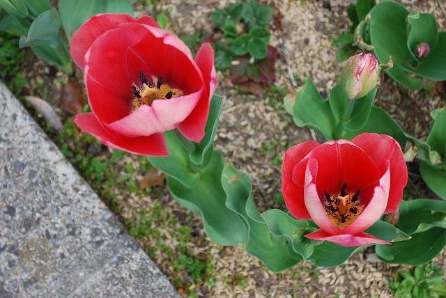 赤いチュウリップの花が