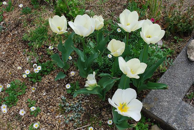 白いチュウリップの花が