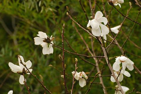 庭のコブシに花が