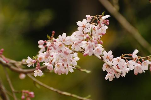庭のシダレザクラに花が