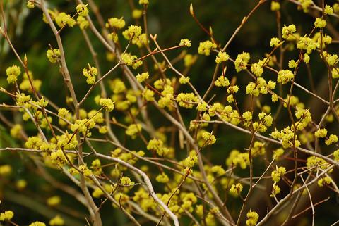 裏山のシロモジの花
