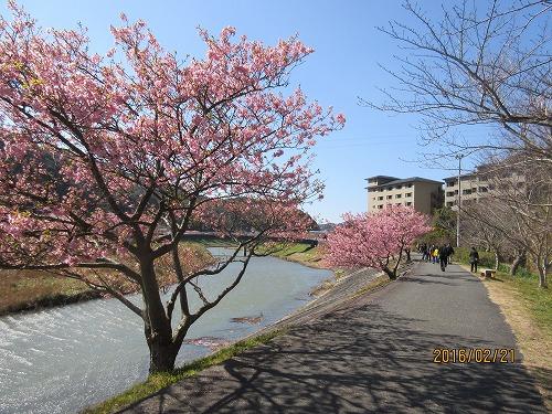 我が家の裏手の河津桜