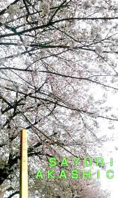 2016年 桜 アカシックレコードリーダーさゆり