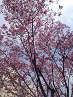 LeMidiさんの濃いピンクの桜。きれい。
