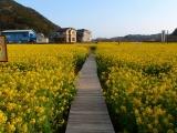 弓ヶ浜菜の花 (1)