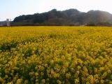弓ヶ浜菜の花 (2)
