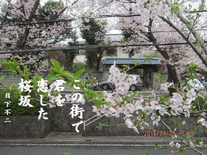 20160405sakurasaka07.jpg