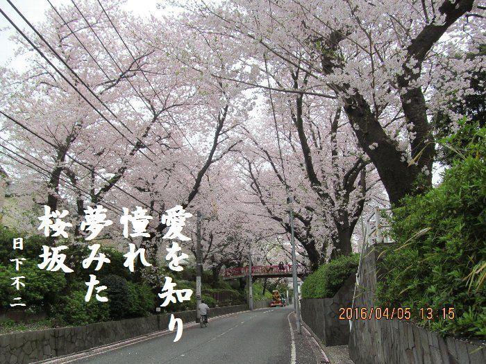 20160405sakurasaka09.jpg