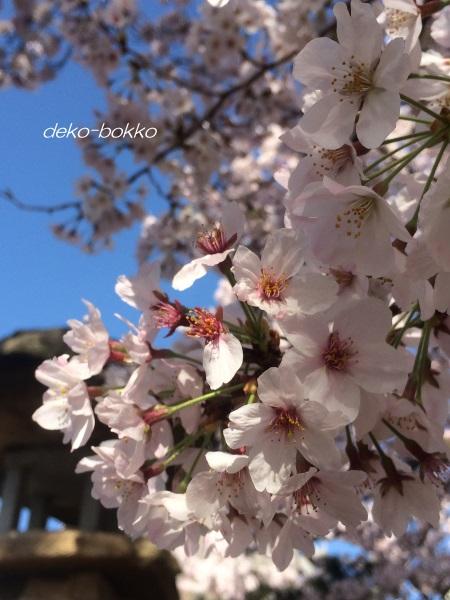 桜 散り始め 201604