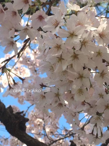 桜 満開 201604