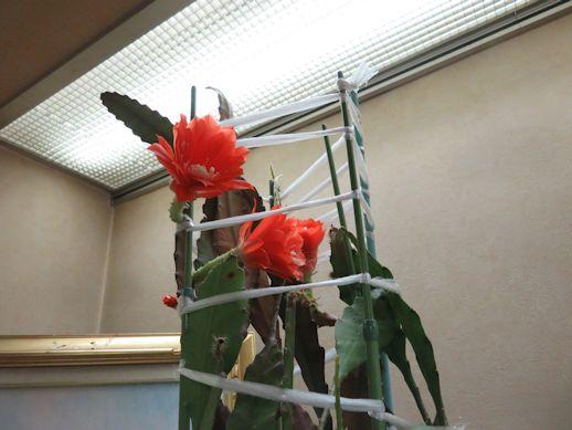 カリブの花