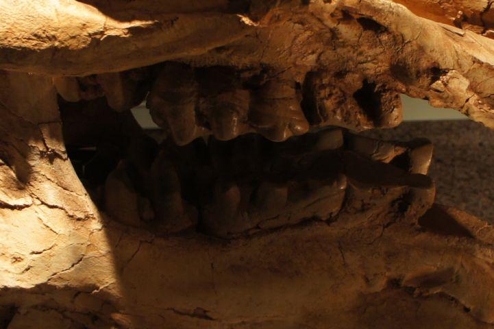 プラティベロドン歯