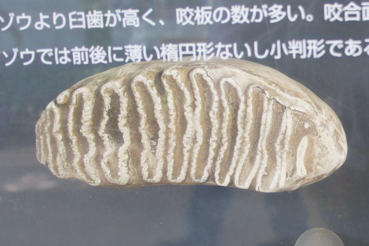 アジアゾウ歯
