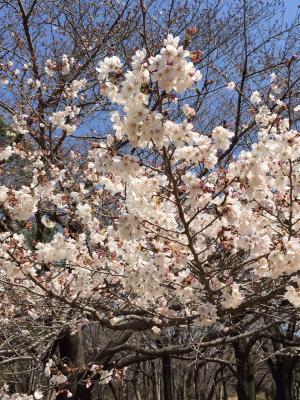 桜_convert_20160407212516