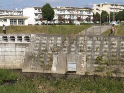 境川の遊水池越流堤と排水ゲート・鶴金橋上流