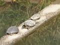 亀の甲羅干し・境川両国橋付近