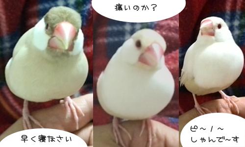持つべきものは文鳥_1