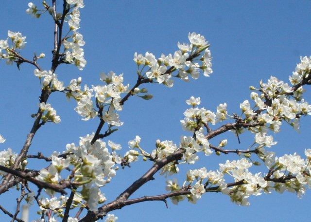 スモモの花4