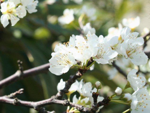スモモの花3