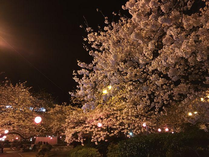 160401-2_夜桜