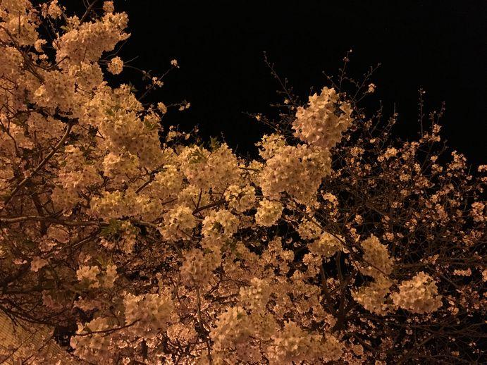 160401-5_夜桜