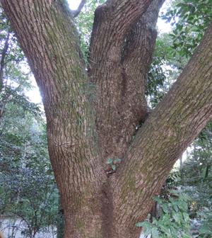 熱田神宮木blog02