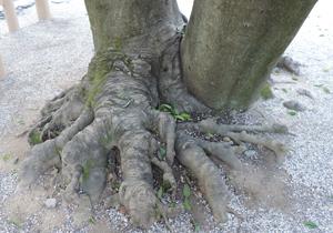 熱田神宮木の根blog02