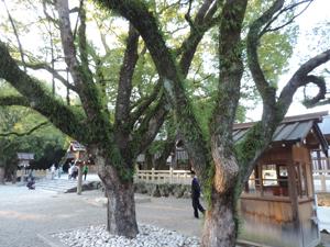 熱田神宮木blog01